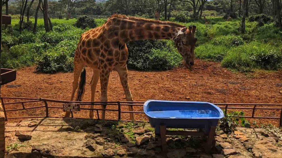 The Giraffe Centre